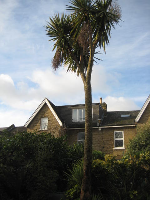 Cordyline tree