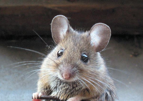 Closeup photo of a mouse