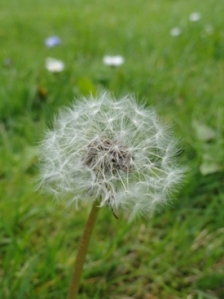 A fluffy dandelion clock