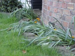 Messy daffodils