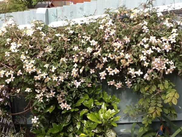 Lucy's Montana Clematis