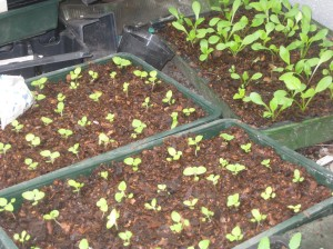 Peter's seedlings
