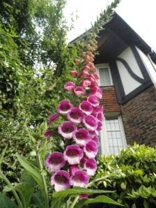 Pink Foxglove in the garden
