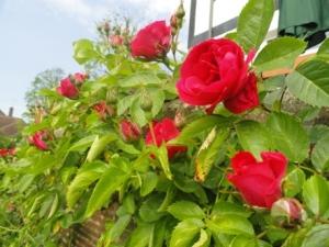 Red roses in Charlotte's garden