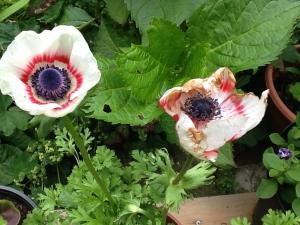 Rain damaged anemone! What a shame....
