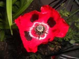 Lisa's Poppy Plant