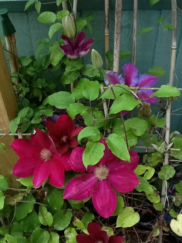 Red Clematis Blooms