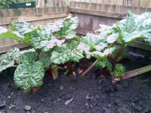 Mrs P - 'Rhu' the Rhubarb