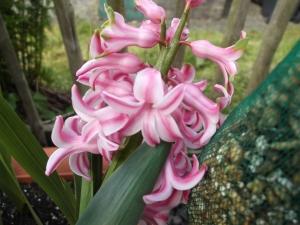 Pink Hyacinths close up