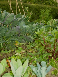 Victoria's Veg Patch with Sprouting Broccoli