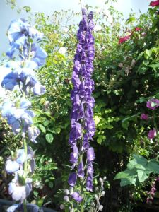 delphiniums and aconitums
