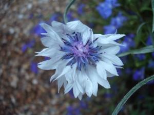 Common Garden Cornflower