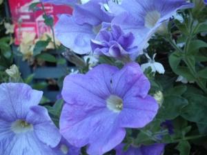 sky blue petunias