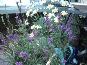 Lavender Pinnata and Lavender Munstead flowers