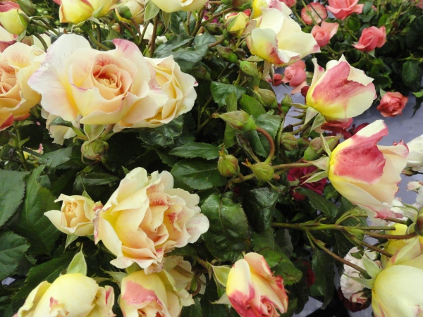 Champagne Cocktail yellow and red variegated rose