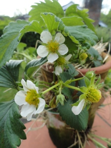 Strawberry plants in blossom