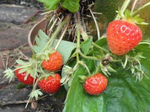 Bountiful strawberry plants bearing fruit