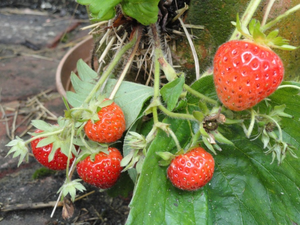 Bountiful strawberry plants bearing fruit