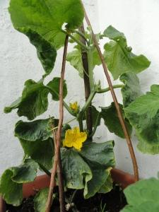Cucumbers in the veg plot