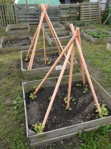Recycled pipe trellis to grow beans