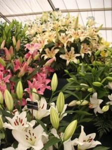 Lilies at RHS Tatton