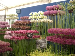 Selection of Allium flowers at Tatton Flower Show