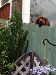 Neighbour's red setter dog