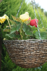 My hanging baskets of begonias