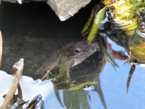 Adult Frog in Pond
