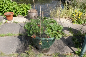 Netted up strawberry plants