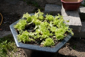 Lettuce growing in a container