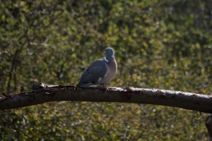 A wood pigeon in the garden