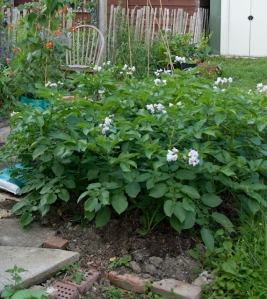 Potato plants in flower