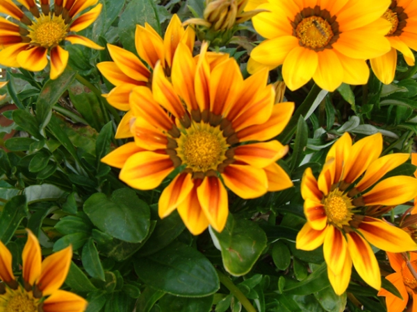 Yellow Gazania flowers