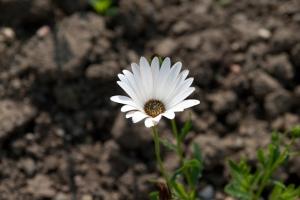 Osteospormum flower - rabbits love to eat them