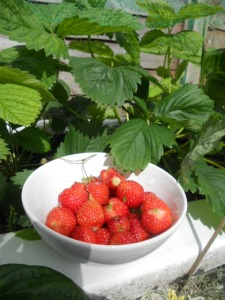 Delicious homegrown strawberries