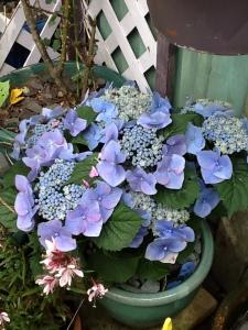 Horsing Around 5 Hydrangea