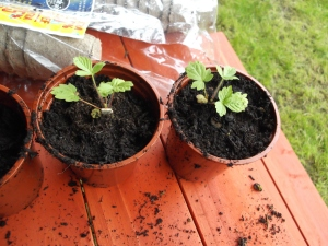 Alpine strawberries seedlings