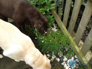 Chocolate and Yellow Labrador smelling the lavender plants