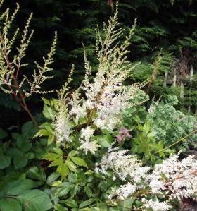White Astilbe flowers