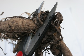 Dividing Dahlias - cut the tubers