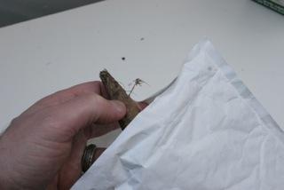 Insulate dahlia tubers