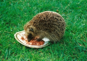 Hedgehog Eating food in the garden