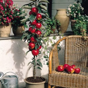 Patio Fruit Trees