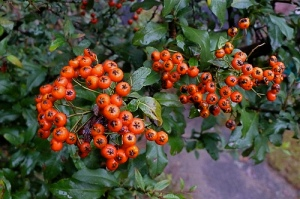 Pyracantha plant provides tasty berries for garden wildlife