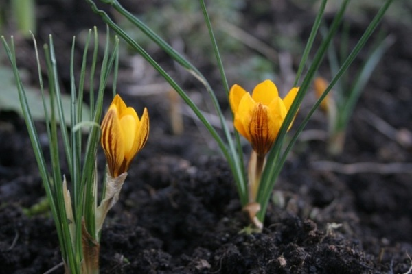 First crocus blooms of spring