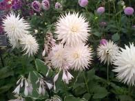 Chrysanthemums!