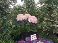 Is there any surprise that these gorgeous hydrangeas were already sold? Some lovely jasmine in the back, too.