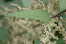 If it's archetecture you want, you would go a long way to better a nettle, but these ones spell trouble in the garden!