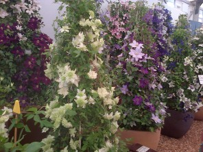 The RHS gold medal winners Taylors Clematis.